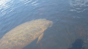 Sept 2013 Deer Manatee 028