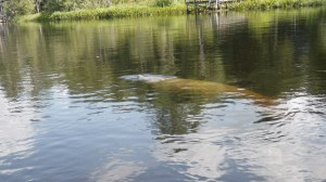 Sept 2013 Deer Manatee 031