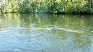 Wakulla River Manatees Aug 28 2014 020