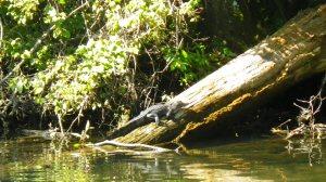 Wakulla River Manatees Aug 28 2014 038